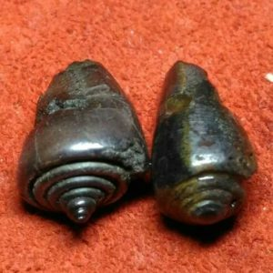 A Pair Of Fossil Stone Buntet Snails